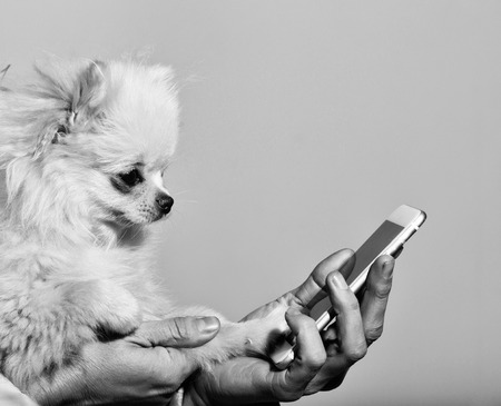 Cute pomeranian dog using smartphone in female hands