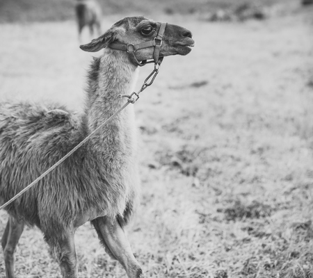 Zoo. Llama with brown wool on natural background, zoo.
