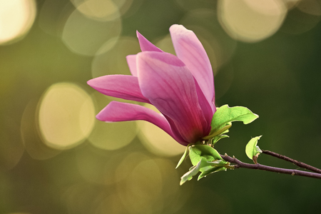 Magnolia flower purple blossom on bokeh natural background.