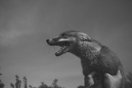 cheerful fox. farm and animals. Reklamní fotografie