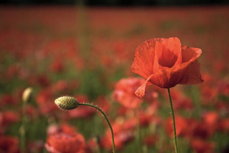 flower field. Remembrance day, Anzac Day, serenity.