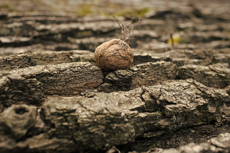 autumn walnut. bark of tree textured background with walnut in autumn.