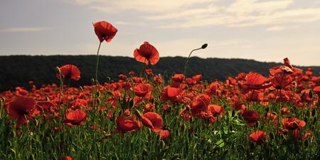 Natural Still Life. Poppy flower field, harvesting.