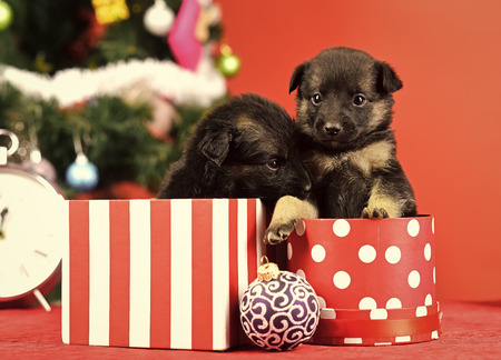 New year, cute puppy gift at clock. Year of dog, holiday celebration. Dog year, pet and animal on red background. Santa puppy at Christmas tree in present box. Boxing day and winter xmas party. Stock Photo