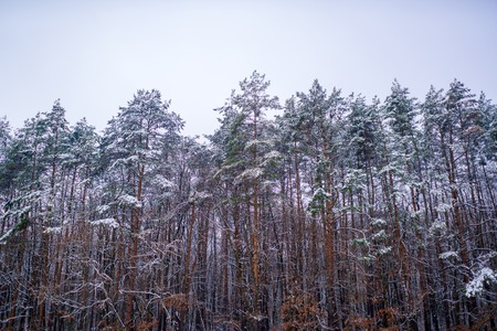 Snowing winter concept. Winter forest. Images for winter. Season of Winter. Global cooling.