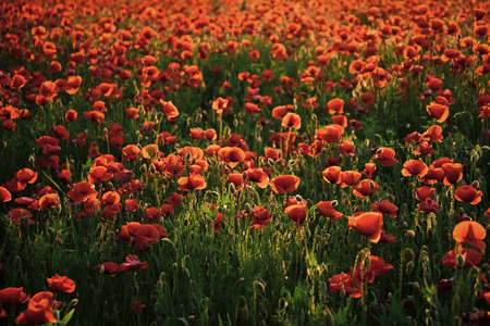 Remembrance Day also known as Poppy or Armistice day.