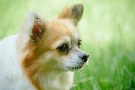 Alert and curious. Dog pet outdoor. Pomeranian spitz dog walk on nature. Pedigree dog. Cute small dog play on green grass. Pet care and animals rights. Stock Photo