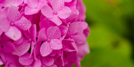 The garden favorites. Pink hydrangea in full bloom. Hydrangea blossom on sunny day. Flowering hortensia plant. Blossoming flowers in summer garden. Showy flowers in summer, copy space