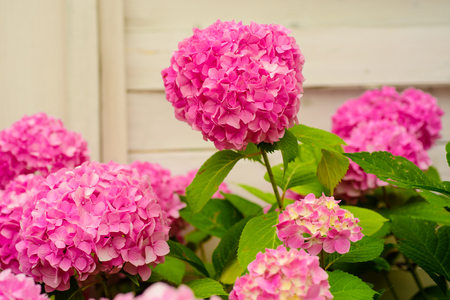 Brightening things up. Pink hydrangea in full bloom. Blossoming flowers in summer garden. Hydrangea blossom on sunny day. Flowering hortensia plant. Showy flowers in summer. Stockfoto