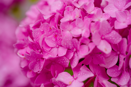 Bursting with blooms. Showy flowers in summer. Hydrangea blossom on sunny day. Flowering hortensia plant. Blossoming flowers in summer garden. Pink hydrangea in full bloom. Stock Photo