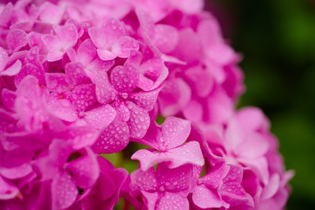 Growing beautiful blooms. Pink hydrangea in full bloom. Showy flowers in summer. Hydrangea blossom on sunny day. Flowering hortensia plant. Blossoming flowers in summer garden. Imagens
