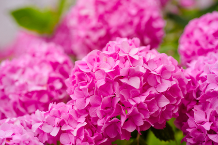 The best for your garden. Flowering hortensia plant. Blossoming flowers in summer garden. Pink hydrangea in full bloom. Hydrangea blossom on sunny day. Showy flowers in summer. 스톡 콘텐츠