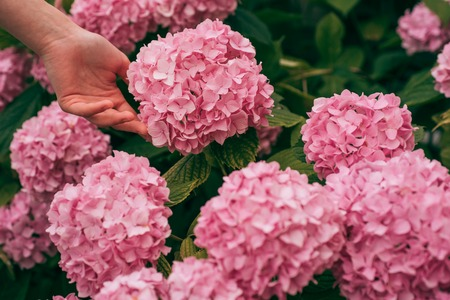 woman care of flowers in garden. gardener with flowers. hydrangea. Spring and summer. Flower care and watering. soils and fertilizers. Greenhouse flowers. skincare and health. Nice flowers. Foto de archivo - 115487817