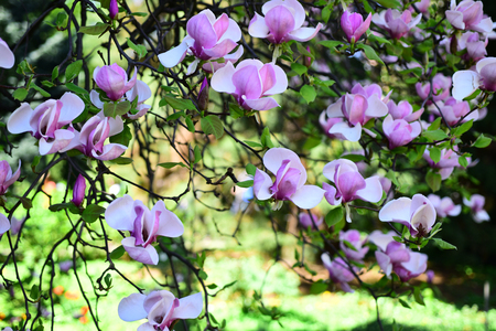 Magnolia notes. Magnolia flowers in blossom. Flowering magnolia tree. Blossoming tree in spring park. Purple magnolia flowers in full bloom. Spring garden. Imagens