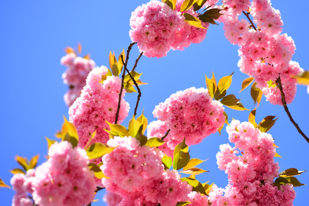 Cherry blossom. Beautiful floral spring abstract background of nature. Branches of blossoming apricot macro with soft focus on sky background. Sacura cherry-tree.