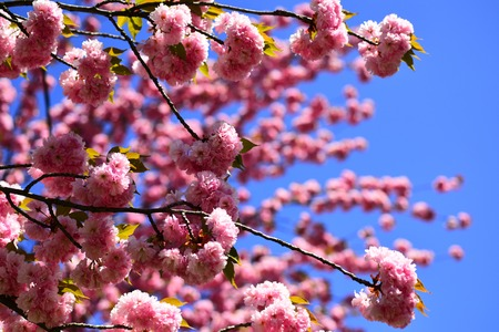 Blossom tree over nature background. Cherry blossom. Sacura cherry-tree. Spring flowers. For easter and spring greeting cards with copy space. Sakura Festival. Japanese cherry. Prunus serrulata.