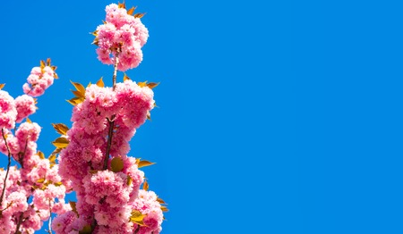 Blooming sakura blossoms flowers close up with blue sky on nature background. Cherry blossom. Sacura cherry-tree. For easter and spring greeting cards with copy space. Stock Photo