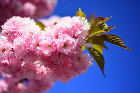 Cherry blossom. Spring Background. Beautiful garden flowers. Sacura cherry-tree. Springtime. Spring flowers with blue background and clouds.