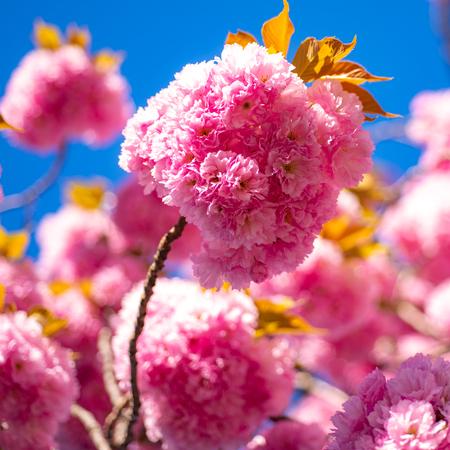 Sakura Festival. Cherry blossom. Sacura cherry-tree. Spring blossom background. Japanese cherry. Prunus serrulata.