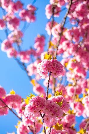 Japanese cherry. Prunus serrulata. Sakura Festival. Background with flowers on a spring day. Cherry blossom. Sacura cherry-tree.