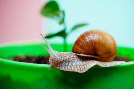Cute snail near green plant. Natural remedies. Adorable snail close up. Little slime with shell or snail in plant pot. Healing mucus. Cosmetics and snail mucus. Cosmetology beauty procedure