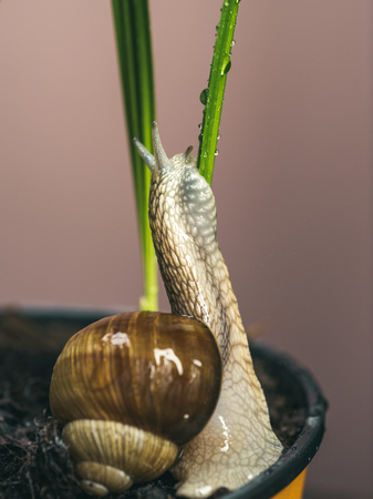 Little slime with shell plant pot. Cosmetology beauty procedure. Healing mucus. Cosmetics and snail mucus. Snail farm concept. Cute snail near green plant. Natural remedies. Adorable snail close up 写真素材
