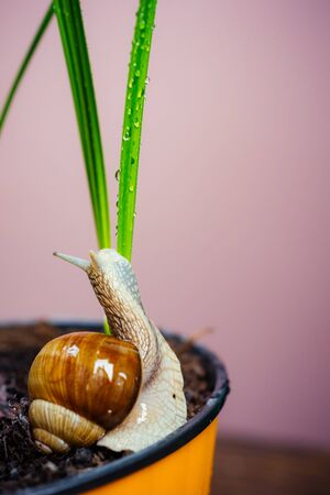 Natural remedies. Adorable snail close up. Little slime with shell plant pot. Cosmetology beauty procedure. Healing mucus. Cosmetics and snail mucus. Snail farm concept. Cute snail near green plant