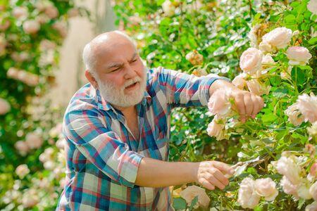 Soin et arrosage des roses de fleurs. Grand-père jardinage. Loisirs et loisirs.