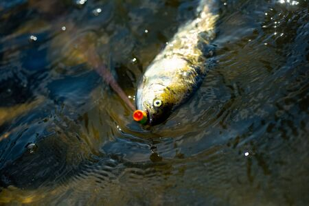 Fishes catching hooks. Bass fishing. Fish head and fishing hook. Fishing with spinning reel. Brown trout fish. Stock Photo
