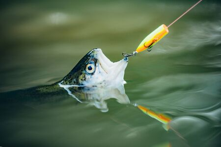 Fisherman and trout. Fish on the hook. Fly fishing - method for catching trout. Rainbow trout on a hook. Stock Photo