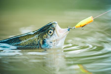 Trout on a hook. Fishing in river. Fly rod and reel with a brown trout from a stream. Fishing Stock Photo