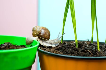 Natural remedies. Adorable snail close up. Little slime with shell or snail in plant pot. Healing mucus. Cosmetics and snail mucus. Cosmetology beauty procedure. Cute snail near green plant