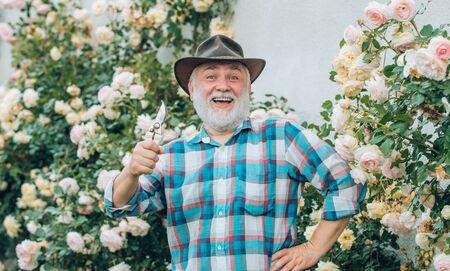 Gardening - Grandfather gardener in sunny garden planting roses. Professional Gardener at Work. Portrait of grandfather while working in flowers garden.