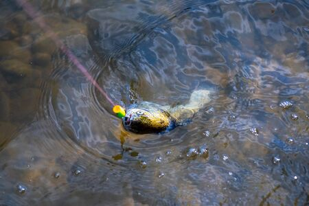 Fishing - relaxing and enjoying hobby. Fish on the hook. Still water trout fishing. Concepts of successful fishing. Fishing became a popular recreational activity Stock Photo