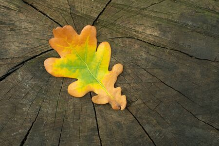 Colorful autumnal fallen oak leaf with orange, yellow and green colors. Copy space. Autumnal season concept. Top closeup view of tree stub and oak leaf on it. Macro photography