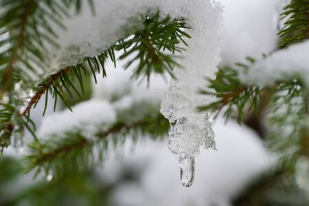 A branch of pine with long needles covered with white fresh snow in a winter frosty sunny day. Natural decoration. Fresh air and enjoyment of nature. Holidays are coming. The first snow. Winter activities. New Year and Christmas greeting card. Copy space for advertising in the winter season