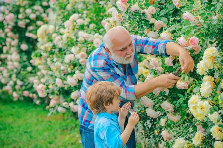 Grandfather and grandchild enjoying in the garden with roses flowers. Happy gardeners with spring flowers. lifestyle and family life.