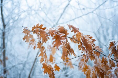 Tree branches under the snow, frosty day. Beautiful branch with orange and yellow dry leaves in winter under the snow. Snow-covered yellow leaves.