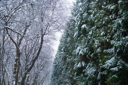 Winter are coming. Branches of pine and trees covered with snow. The first snow. Winter activities. New Year and Christmas greeting card. Copy space for advertising in the winter season