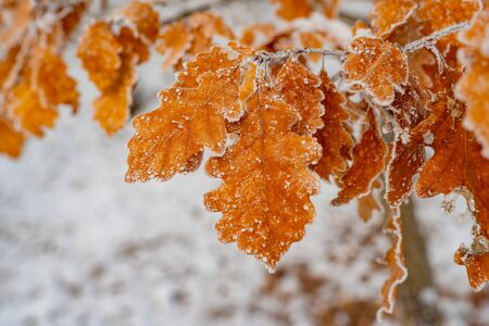 Winter forest and nature atmosphere. Seasonal garden. Cold weather and beautiful nature in winter. Branch with oak leaves. Amazing orange oak tree leaves covered by frost close up photo