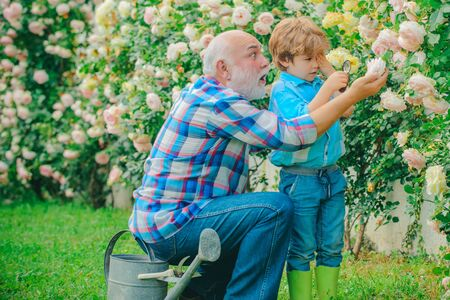 Flower rose care and watering. Grandfather with grandson gardening together. Grandfather with his grandson working in the garden. Dad teaching little son care plants.