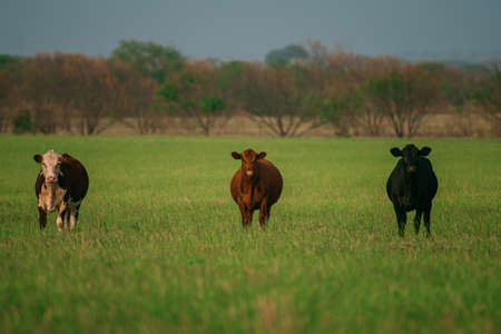 Herd of cows grazing in a pasture in summer. Stock Photo