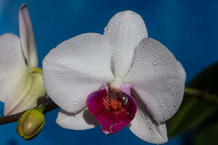 Flower cosmetics. Nature beauty. Orchid flower. Phalaenopsis growing.