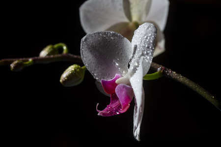 Orchid flower. Decorative plant isolated on black background. Phalaenopsis growing. Floral concept.