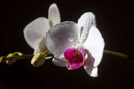 Floral concept. Womans day. Orchid flower. Phalaenopsis growing.