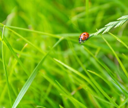 landscaped garden: Little red ladybug crawling on a blade of grass on the green blurry background Stock Photo