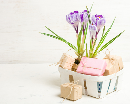 Spring lilac and purple crocus in a flowerpot. Green leaves. Spring card.