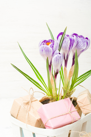paper textures: Spring lilac and purple crocus in a flowerpot. Green leaves. Spring card.