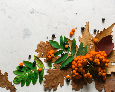 A bunch of ripe orange mountain ash with green leaves. Autumn dry leaves. Black berries. White stone or plaster background. View from above. Copy space.
