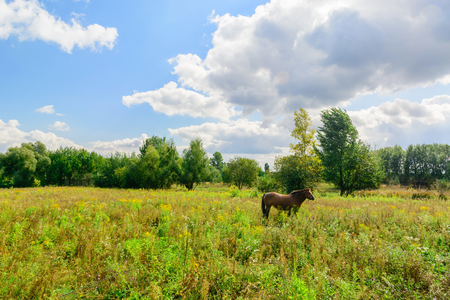 Brown horse in the field against the background of the left and the sky with clouds. Rural life.